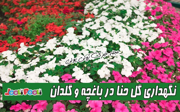 نگهداری گل حنا در باغچه و گلدان