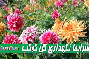 پرورش،تکثیر و شرایط نگهداری گل کوکب+ زمان گلدهی و علت پژمرده شدن گل کوکب