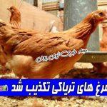 ماجرای مرغ های تریاکی تکذیب شد